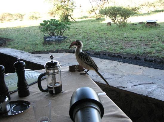 Severin Safari Camp: Another robber, red-billed hornbill