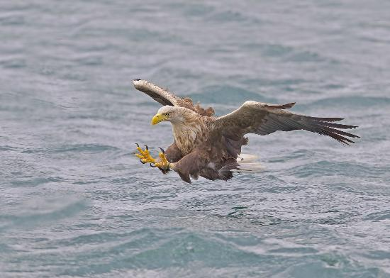 Salen, UK: White-tailed Eagle on Mull Charters sea eagle trips Loch Na Keal Isle of Mull