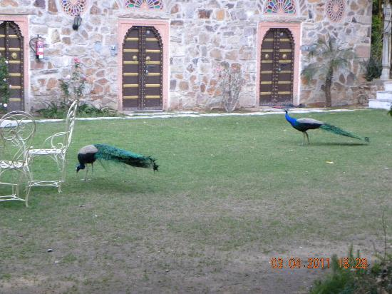 Narain Niwas Palace: Peacocks at the backyard
