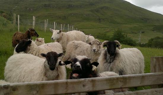 Leenane, Ireland: Sheep at the Cultural Centre
