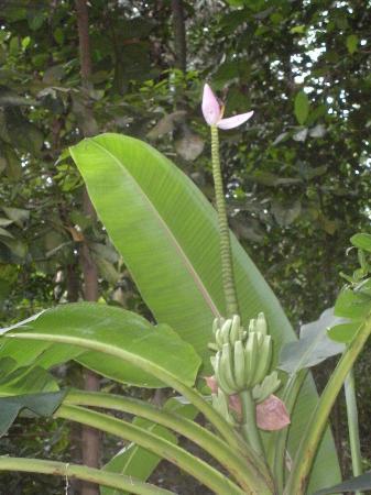 Parque Lage: Parque Henrique Lage - Banana plant