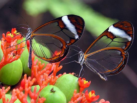 Butterflies for Africa: Glasswing butterflies