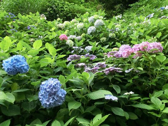 Jojuin Temple: 色とりどりのあじさいが咲き乱れています