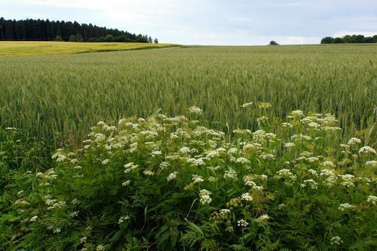 Graether Gesundheitsresort: Landschaft in Gehdistannz (Juni-Vegetation)