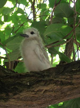 Denis Private Island Seychelles: Fluff, the young fairy tern