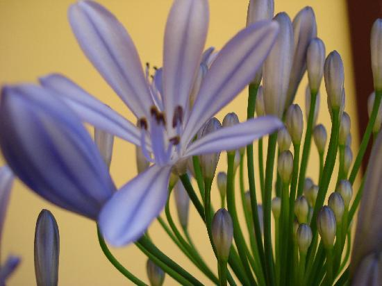 B&B Guerrazzi: Agapanthus flower