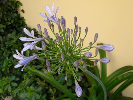 B&B Guerrazzi: Agapanthus flower in the terrace