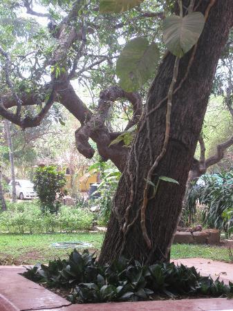 Hotel Bougainvillea - Granpa's Inn: lovely old tree