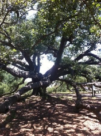 Friendship Oak Tree