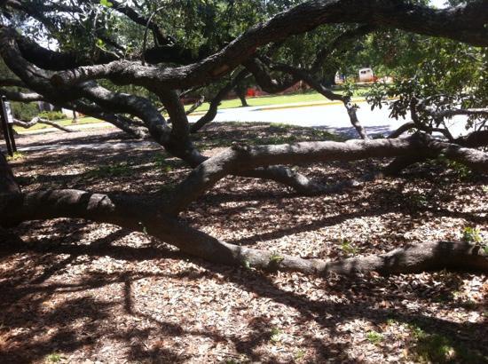 Friendship Oak Tree Branches