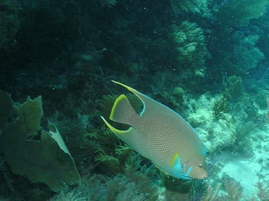 Island Ventures: Blue Angelfish