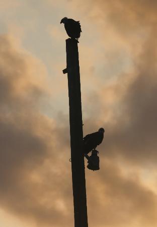 Oceanic Society Field Station: Osprey on the pole
