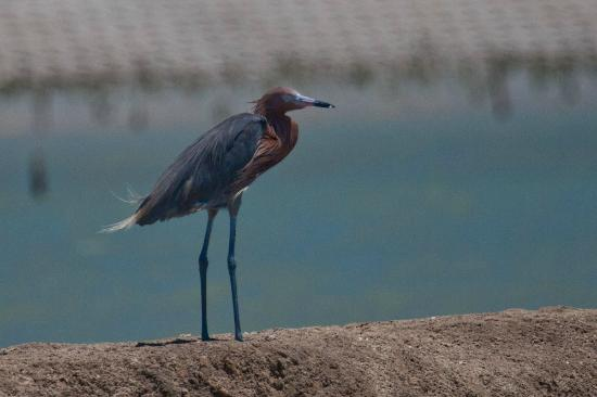 Fins to Feathers: Reddish Egret