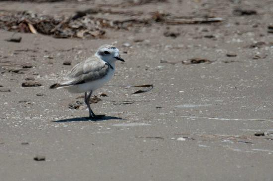 Fins to Feathers: Wilson's Plover
