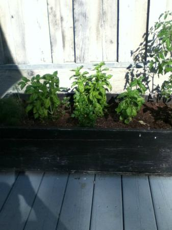 The Esmeralda Inn: Some of the herbs that they grow and use for your meals.