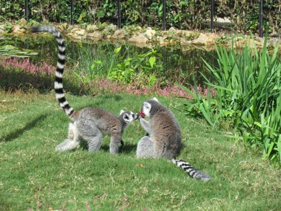 The Lazy 5 Ranch: Lemurs sharing a treat