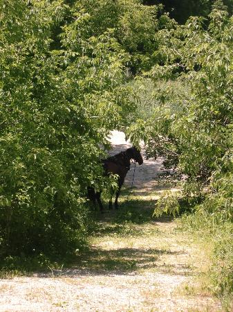 Root River: Amish horse tied up in a clearing off the bike path!