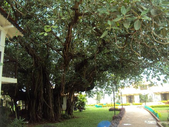 La Calypso Goa: VERY OLD TREE NEAR WOODEN COTTAGE