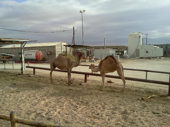 Keren Kolot, Kibbutz Ketura: Camels