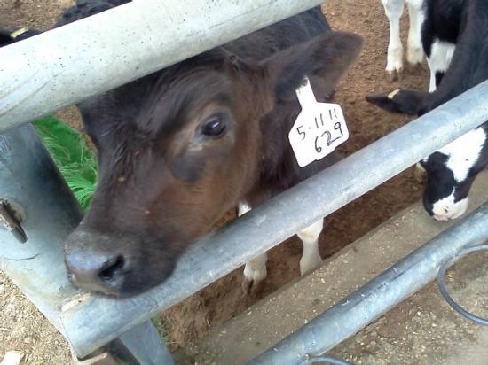 Keren Kolot, Kibbutz Ketura: Baby cow! Aww