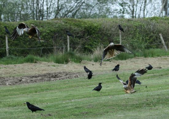 Red Kite Feeding Station & Rehabilitation Centre: A hint of the feeding frenzy