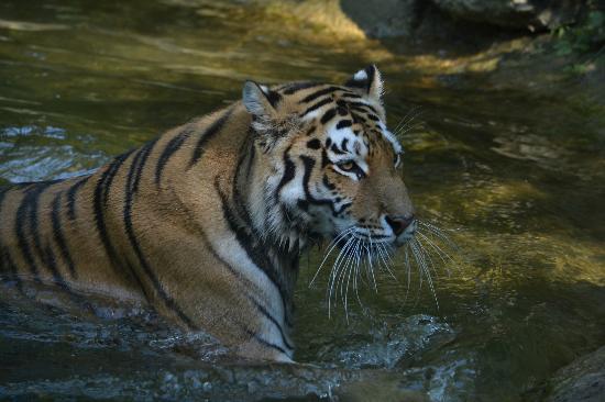 Bussolengo, Italia: Tigre