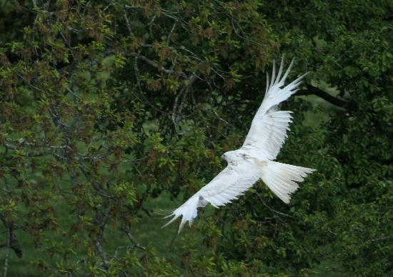 Red Kite Feeding Station & Rehabilitation Centre: Stunning 'White' Kite
