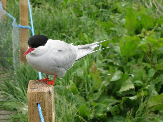 Seahouses, UK: Arctic Tern on Inner Farne