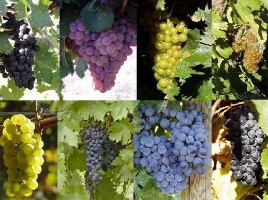 Hermosa Vineyards: The grapes
