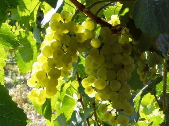 Hermosa Vineyards: Chardonnay