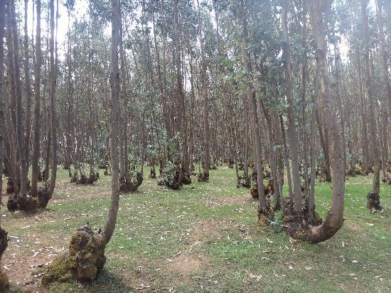 Entoto Hill: entoto eucalyptus forest