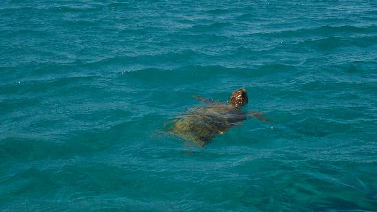 Hotel Yakinthos: Turtle in Laganas Bay