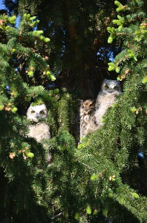 Yellowstone's Edge RV Park : I spotted 3 owls watching me in the pine trees