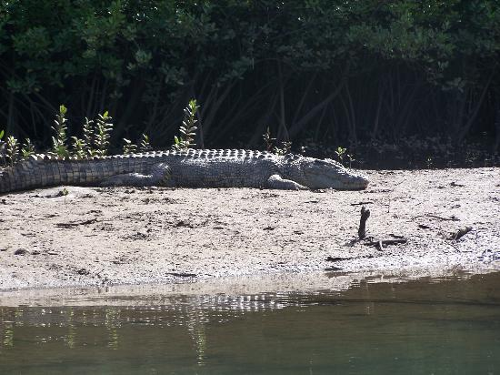 Cape Tribulation Wilderness Cruises : One of the big boys seen on our cruise.