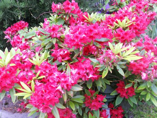 Tucker House Inn: Rhododendron