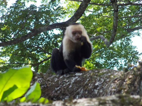 Manuel Antonio Hotel: MANP White Faced Monkey (5' Away)