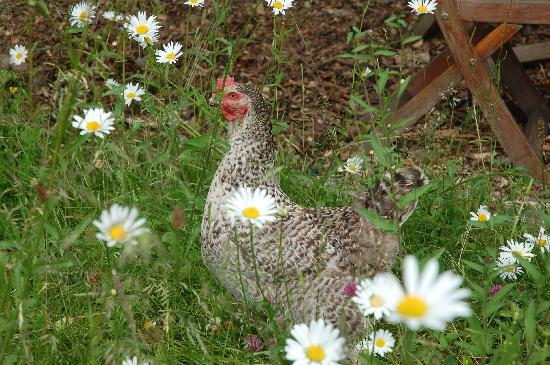 The Old Mill Soar: fresh eggs from our free range hens