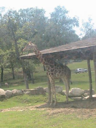 Safari Park : Giraffa