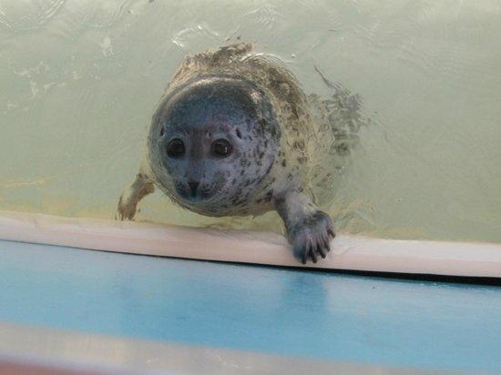 Monbetsu, Japão: baby Seal