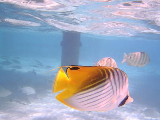 Bora Bora Pearl Beach Resort & Spa : beau poisson !