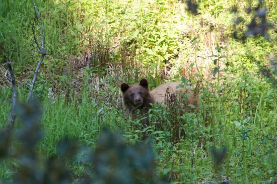 Residence Bellevue Guesthouse: Bärenbesuch bei einem Spaziergang durch den Giant Forrest