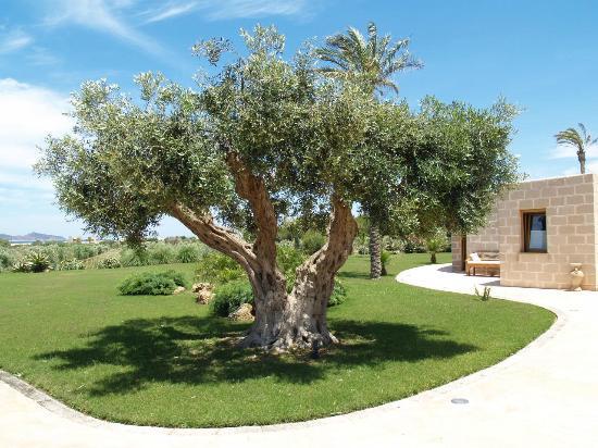 Il secolare ulivo orgoglio di toni foto di geco resort - Giardino con ulivo ...