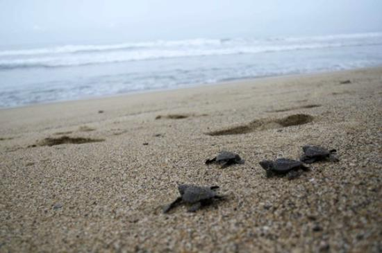 Playa Viva: Baby Turtles!