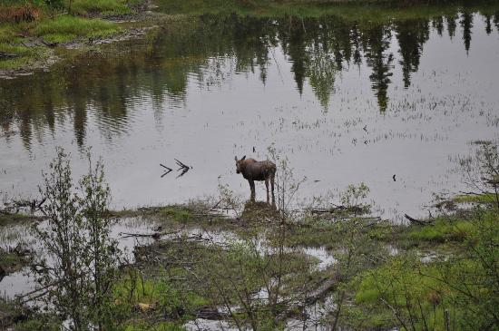 Talkeetna Denali View Lodge & Cabins: Moose enjoying the early morning!
