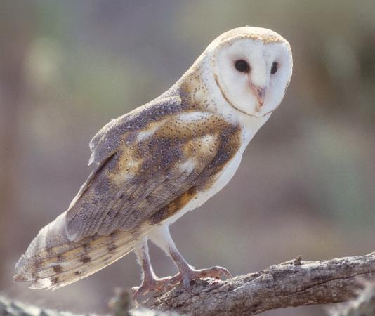 Arizona-Sonora Desert Museum: Barn Owl