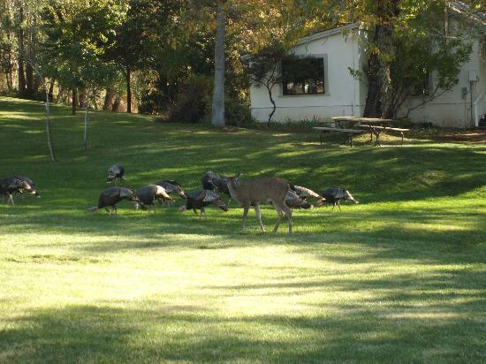 Vichy Springs Resort: Deer and Turkey outside our room