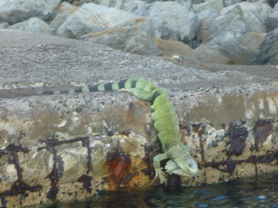 Mango Bay Resort : iguana