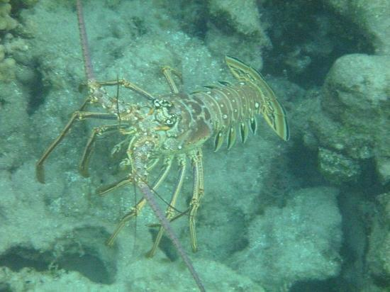 Mango Bay Resort: huge lobster seen snorkeling
