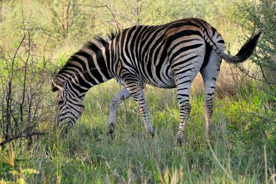 Impodimo Game Lodge: Zebra.