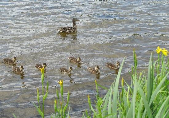 Cedar Grove Lodge: Mama Duck and her brood